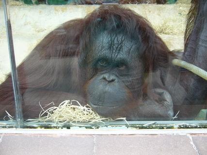 FOTKA - Gorila