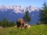 Na horské pastvě
