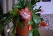 oranžový vánoční kaktus