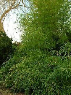 FOTKA - bambus