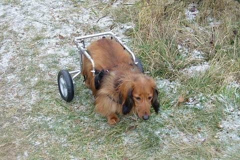 FOTKA - pejsek na invalidním vozíku