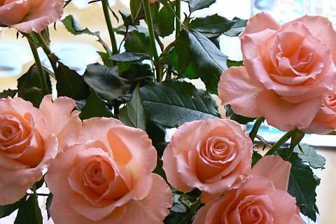 FOTKA - růže 19
