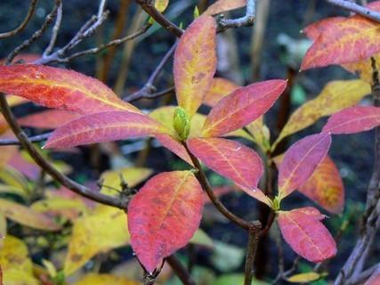FOTKA - azalka na podzim ...