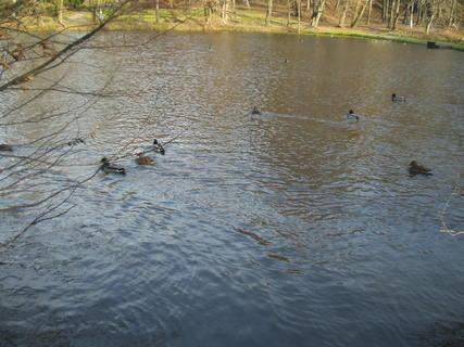 FOTKA - Kachny na  rybníku