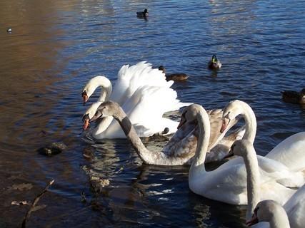 FOTKA - Labutí rodinka připlula na svačinku