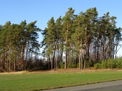 FOTKA - borovice na výsluní