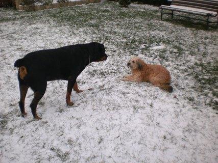 FOTKA - Serie:  1 .Roxy a Aisha dnes na sněhu - 13.12.2009