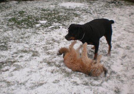 FOTKA - 13.12.2009 - Roxy a Aisha se perou na sněhu.