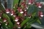 Orchidea nov� - Oncidium