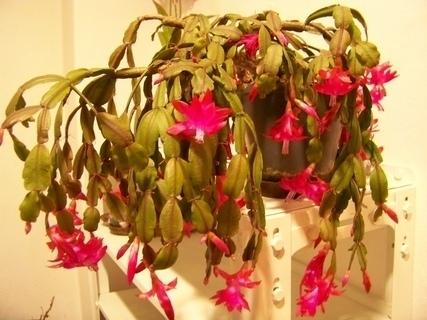 FOTKA - vánoční kaktus ......