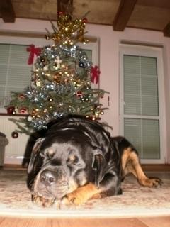 FOTKA - Roxy u stromečku -  2.1.2010