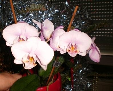 FOTKA - Moja orchidea kvete podruhé - 2.1.2010