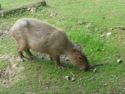 FOTKA - Kapybara