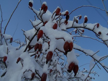 FOTKA - Šípkový keř pod sněhem