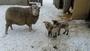 ovce s jehňátky