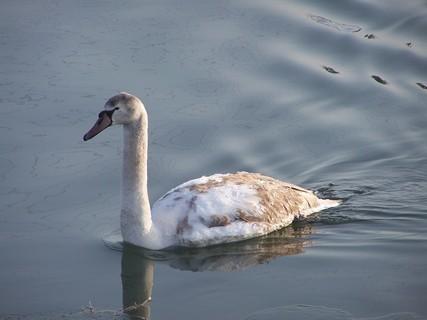 FOTKA - Procházka za labutěma