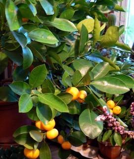 FOTKA - mandarinka v zimní zahradě