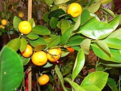 FOTKA - detail mandarinek