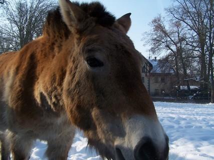 FOTKA - Kůň Převalského