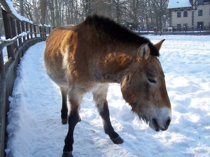 FOTKA - Kůň Převalského.