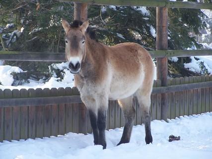 FOTKA - Kůň Převalského ve výběhu