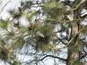 Kanadská borovice