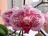 Kvetou i další