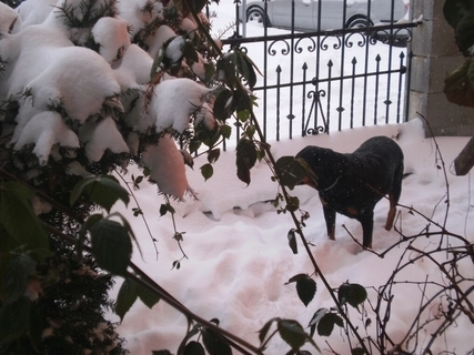 FOTKA - Roxy hlídá ve sněhu u plotu -  31.1.2010