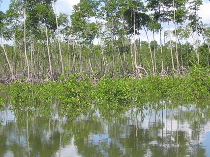 FOTKA - Zajímavé mangrovníky 2