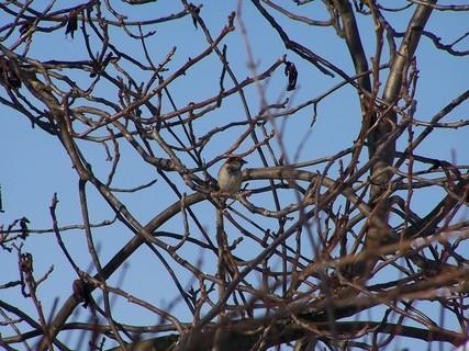 FOTKA - Vrabec na ořechu