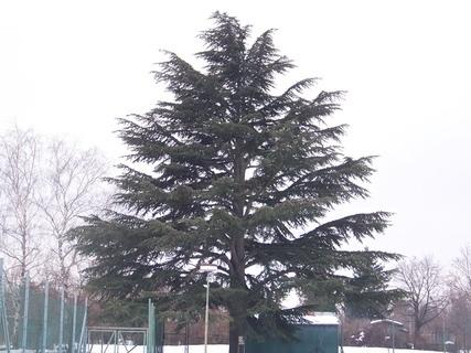 FOTKA - vzácný a chráněný strom - cedr