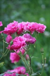 FOTKA - Růže VI.