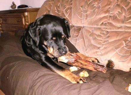 FOTKA - Roxy  už  ji kost - koňské kopyto  / po asi 24 hod.  hlídání/  - 6.2.2010 večer.