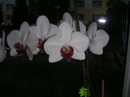 FOTKA - moje orchideje