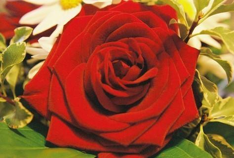 FOTKA - Růže VII.