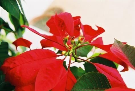 FOTKA - Vánoční hvězda I. - kvete každý rok