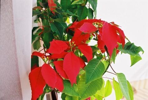 FOTKA - Vánoční hvězda II. - kvete každý rok