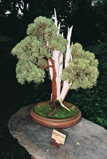 FOTKA - Bonsai