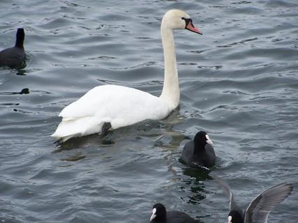 FOTKA - Jediná labuť mezi kačenkama