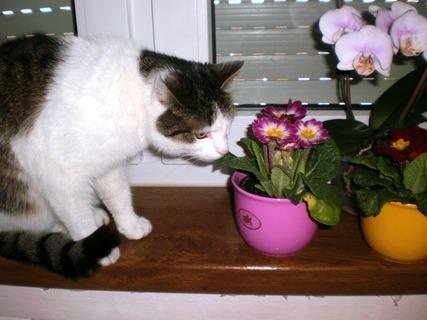 FOTKA - Náša kočička Nelly očichává  kytky - 13.2.2010.-