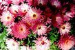 Pestrobarevné květy
