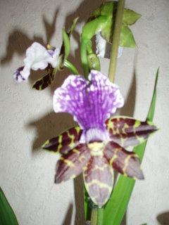 FOTKA - tatínkova orchidea