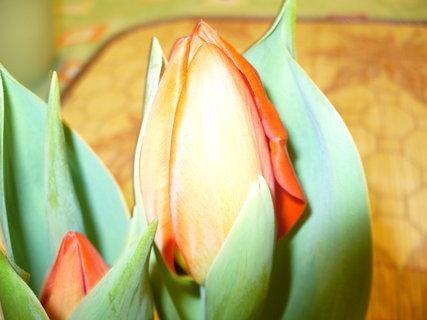 FOTKA - Tulipány zavinuté