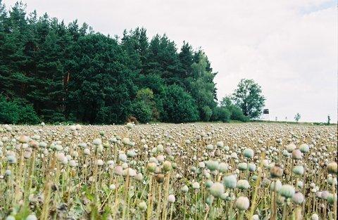 FOTKA - Makové pole