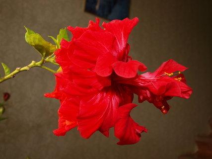 FOTKA - čínska růže