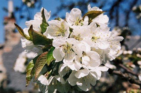 FOTKA - Květy třešně