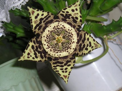 FOTKA - sukulent a jeho květ