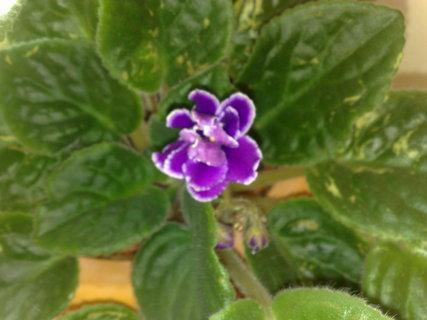 FOTKA - Květ fialky
