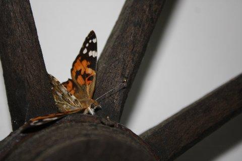 FOTKA - Motýl IV.