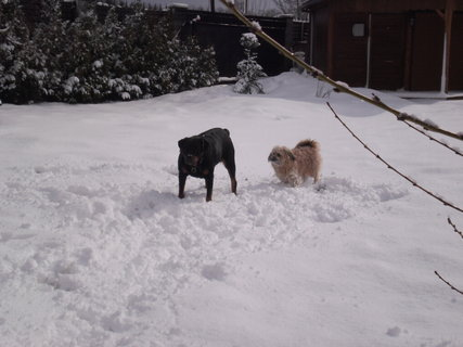 FOTKA - Roxy s Aishou na  sněhu  na  záhradě  v březnu/ 15.3.2010/